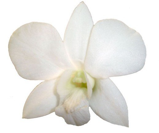 DENDROBIUM_JUMBO_WHITE_ORCHID